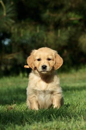 Golden retriever puppy sitting in a garden photo