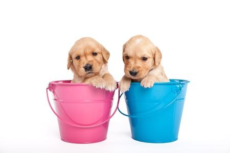 Golden retriever puppies in a pink bucket Stock Photo