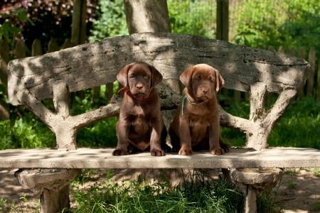 labrador retriever: Chocolate labrador retriever cachorros sentado en una banca Foto de archivo