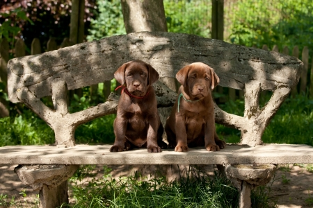 Chocolate labrador retriever puppies sitting on a bench Stock Photo - 9661945