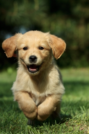 golden retriever puppy: Golden retriever puppy running in a garden