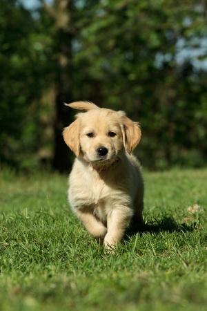 Golden retriever puppy in a garden photo