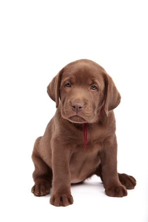Chocolate labrador retriever puppy in front of white background photo