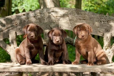Chocolate labrador retriever puppies sitting on a bench