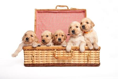Golden retriever puppies in a wicker box Stock Photo