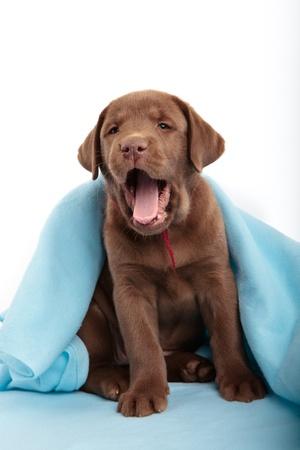 yawning: Yawning chocolate labrador retriever puppy with a blue blanket