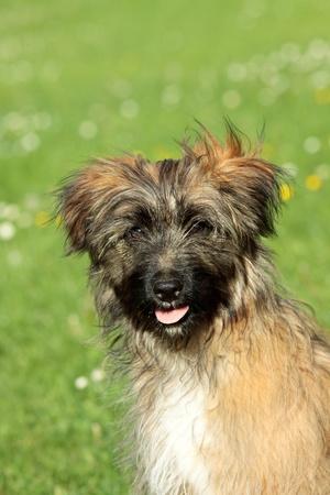 pyrenean: Ritratto di cane pastore dei Pirenei