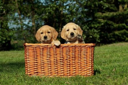 Golden retriever puppies in a wicker basket Stock Photo