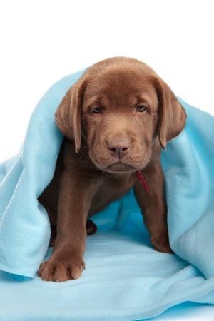 Chocolate labrador retriever puppy with a blue blanket Stock Photo