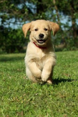 Golden retriever puppy running in a garden photo