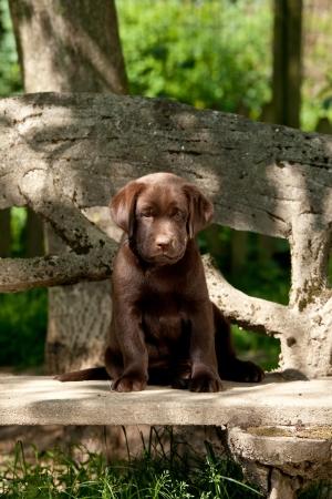 Chocolate labrador retriever puppy sitting on a bench photo