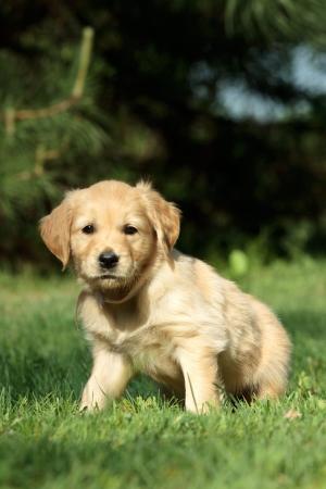 Golden retriever puppy sitting in garden photo
