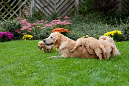 Golden retriever puppies with mother photo