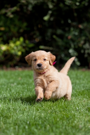 Golden retriever puppy running in a garden photo