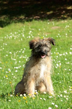 pyrenean: Outdoor ritratto di cucciolo di pastore dei Pirenei