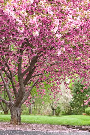 flowering: magnificent, beautiful flowering cherry tree in full bloom Stock Photo