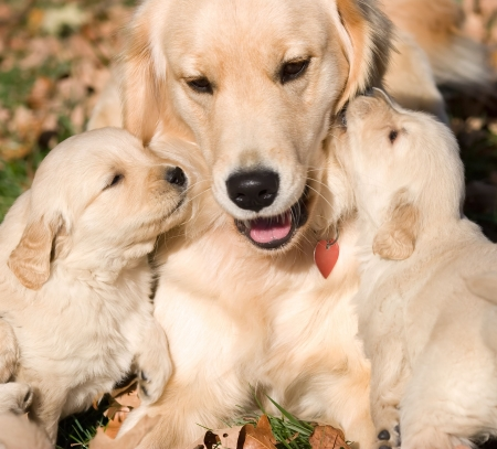 two golden retriever puppies kissing mother Stock Photo - 2751024