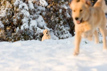 romp: Purebred golden retriever mother and anxious puppy happily romp in the afternoon snow near the forest.