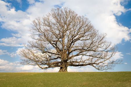 alba: Very old, ancient, White Oak tree, Qereus Alba, located in Virginia USA