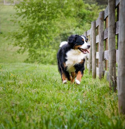 Bernese mountain dog happily running along the pasture while looking thru the four board fence Stock Photo - 2751149