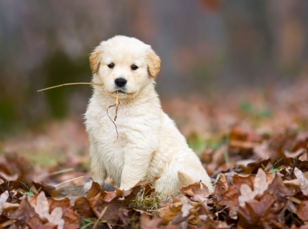 reluctant: A purebred golden retriever puppy proudly poses for the whole world to see, after retrieving a piece of straw in the autumn Stock Photo