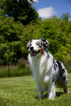 dependable: A beautiful Blue Merle Tri-color Australian Shepherd  stands proudly looking toward his master,