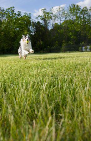 retrieves: An active and athletic Australian Shepherd  leaps as she retrieves a ball.