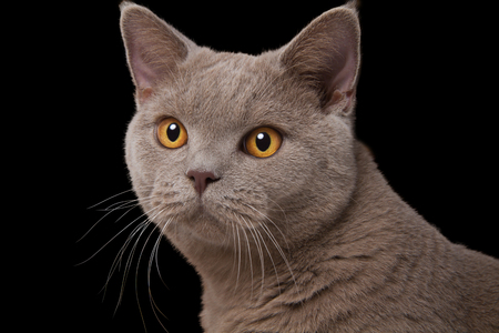 British cat gray muzzle with yellow eyes closeup on a black background, white long whiskers, a careful look right