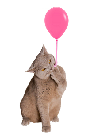 British cat sitting on hind legs holding a pink balloon, hooked claw rope and keeps. isolated white background.