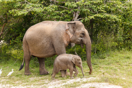 Elephant cow walking with baby elephant in Yala National Park, Sri Lanka