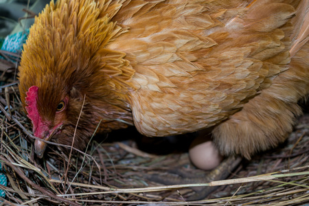 HEN IN HIS NEST WITH EGG