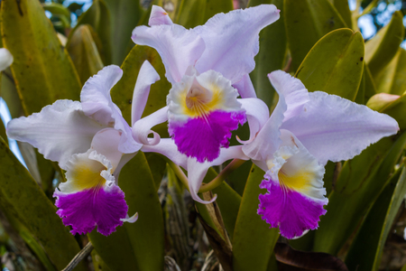 THREE BEAUTIFUL COLOMBIAN ORCHID FLOWERS