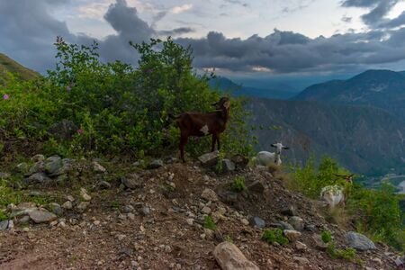 LANDSCAPE OF GOATS IN THE CHICAMOCHA CANYON COLOMBIA