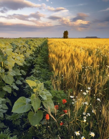 Summer landscape with sunflowers and chamomiles in the wheat field photo