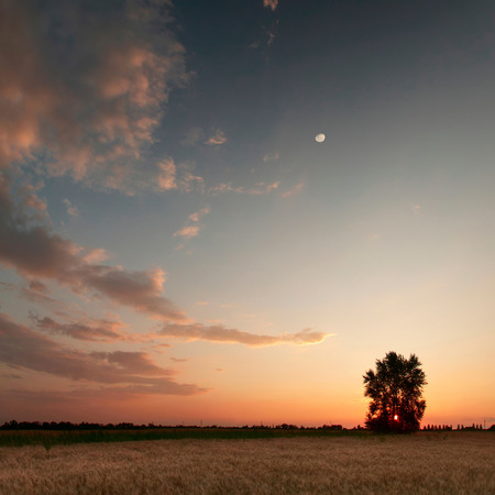 Sunset with moon and clouds sky in a wheat field with lonely tree