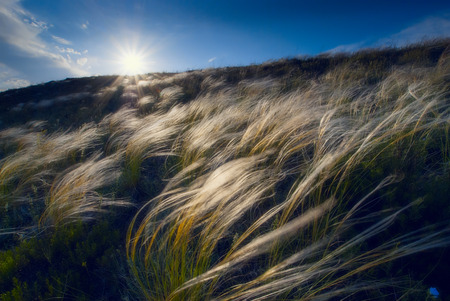 Beautiful sunset with a feather grass in a wind photo