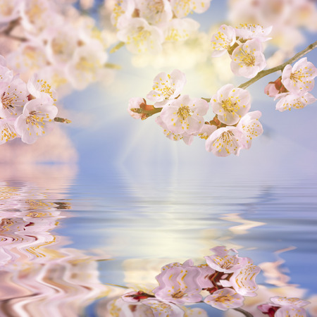 Spring background. Sakura branch reflected in water. 版權商用圖片 - 36262171