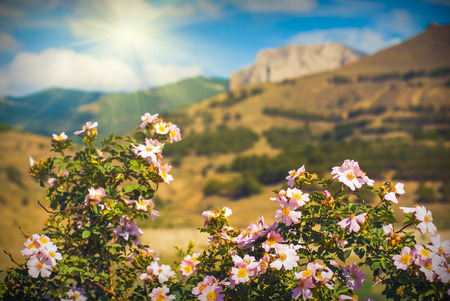 briar: Beautiful mountain valley with  briar flowers