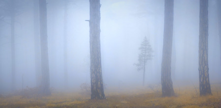 mistic: Mistic foggy forest with a young lonely tree Stock Photo