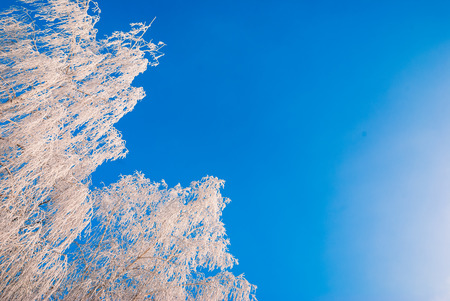 Birch branch covered with hoar frost against the blue sky photo