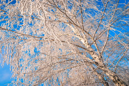 hoar: Birch tree covered with hoar frost against the blue sky Stock Photo