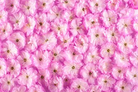 petals: Sakura pink flowers background Stock Photo