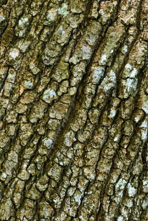 tree detail: Detail of oak tree bark