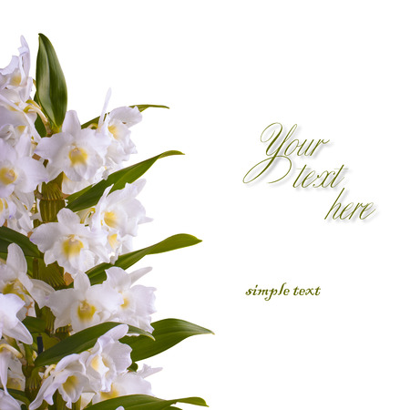 dendrobium: White dendrobium nobile isolated on white background with place for text