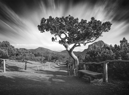 relict: Relict pine tree at the mountain national park of Crimea. Black and white
