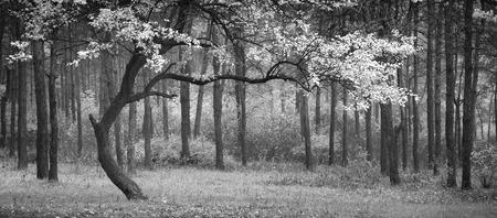 Bel arbre d'automne dans une forêt. Couleurs monochromes Banque d'images - 38815222