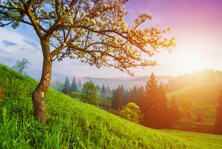 Bloeiende wilde appel boom op een groene heuvel in de Karpaten. Majestueuze zonsopgang