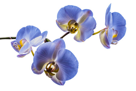 blue orchid: Beautiful flower orchid, blue phalaenopsis close-up isolated on white background Stock Photo
