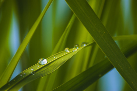 Green grass background with water drops hanging on the leaves being backlit by the sun in the morning. Macro image