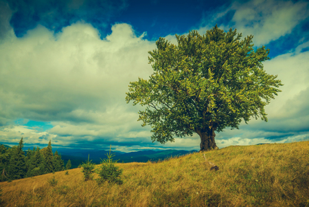 lonely tree: Carpathian meadow with lonely tree on autumn hill. Classical Ukrainian landscape. Cross process, vintage colors.